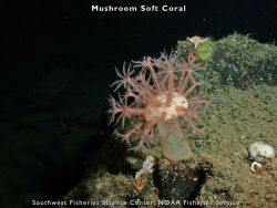 Mushroom soft coral Photo
