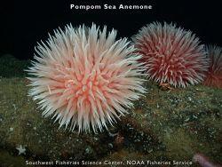 Pompom sea anemone Photo