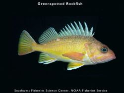 Greenspotted rockfish Photo