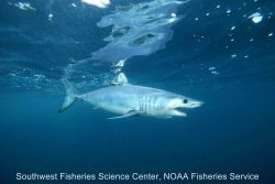 Tagged shortfin mako shark Photo