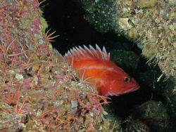 Yelloweye rockfish. Photo
