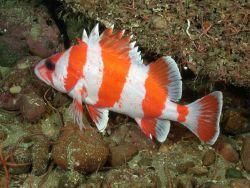 Flag rockfish with brittlestars Photo