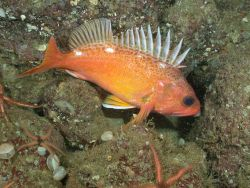 Rosy rockfish Photo