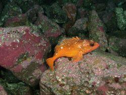 Starry rockfish Photo