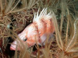 Cowcod rockfish with brittlestars and crinoids Photo