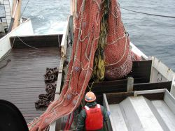 Trawling operations on the NOAA Ship MILLER FREEMAN Beginning to dump cod end in sorting bin. Photo