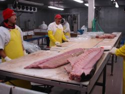 Processing swordfish. Photo