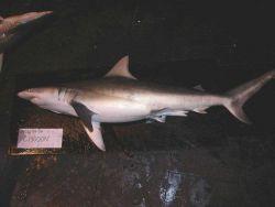 Finetooth shark (Carcharhinus isodon) Photo