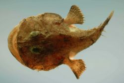 Reticulated goosefish (Lophiodes reticulatus) Photo