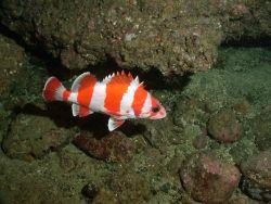 Flag rockfish (Sebastes rubrivinctus) Photo