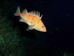 Cowcod rockfish (Sebastes levis) Photo