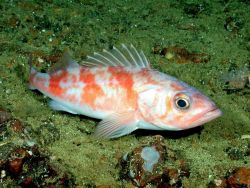 Chilipepper rockfish (Sebastes goodei) Photo