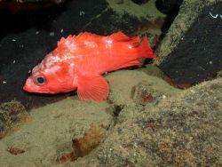 Aurora rockfish (Sebastes aurora) Photo