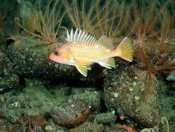 Greenspotted rockfish (Sebastes chlorostictus) Photo