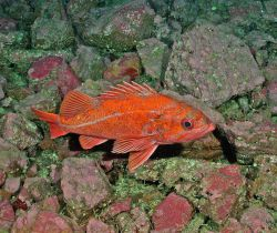 Vermilion rockfish (Sebastes miniatus) Photo