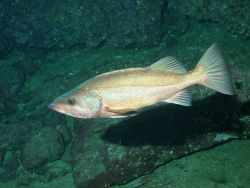 Bocaccio rockfish (Sebastes paucispinus) Photo