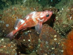 Bank rockfish (Sebastes rufus) Photo