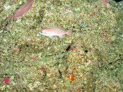 Dwarf-red ockfish (Sebastes rufinanus) Photo