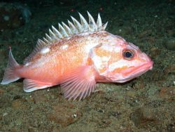 Pink rockfish (Sebastes eos) Photo