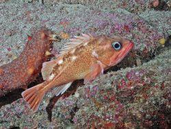 Honeycomb rockfish (Sebastes umbrosus) Photo