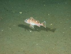 Freckled rockfish (Sebastes lentiginosus) Photo