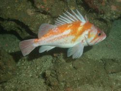 Copper rockfish (Sebastes caurinus) Photo