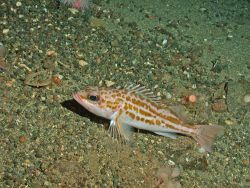Greenstriped rockfish (Sebastes elongatus) Photo