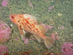 Brown rockfish (Sebastes auriculatus) Photo