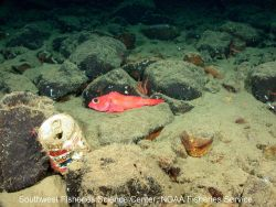 An old Pepsi can sits on the rocky seafloor near 43 Fathom Bank off the coast of San Diego Photo