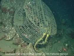 A classic example of marine debris, a derelict fish/prawn trap continues to 'ghost fish' at 9 Mile Bank, which is approximately nine miles off the coa Image