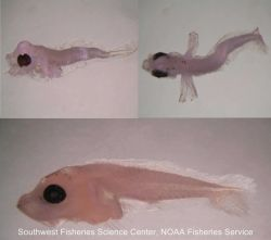 Cowcod larvae (Sebastes levis), a species of rockfish Photo