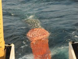 Cod end of trawl net coming aboard during scientific trawling operations with 8,000 pound catch of almost all croaker, a forage fish. Photo