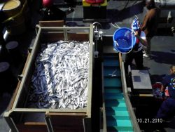 A large number of eels in a trawl station catch placed in the sorting table. Image