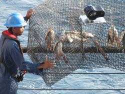A fish trap with bait which has been equipped with a camera to study the behavior of attracted fish. Image