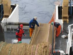 Aleutian wing trawl net being retrieved during sperm whale predation survey. Photo