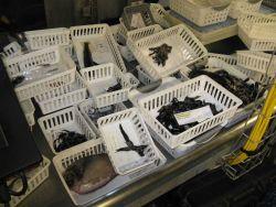 Assorted catch from deep-water bathy-pelagic trawl survey Image