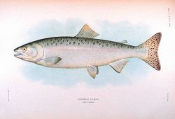 Humpback salmon, adult female Photo