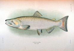 Chinook salmon, adult male Photo