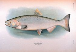 Chinook salmon, adult female Photo