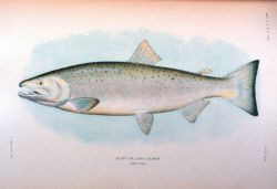 Silver or Coho salmon, adult male Photo