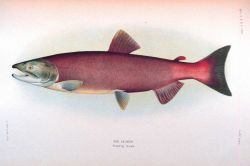 Red salmon, breeding female Photo