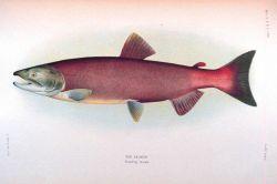 Red salmon, breeding female Photo