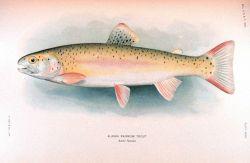 Alaska rainbow trout Image