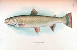 Dolly Varden trout Photo