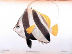 Heniochus macrolepidotus (Linnaeus) Photo