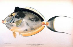 Acanthurus unicornis (Forskal) Photo
