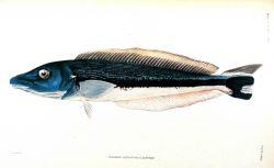 Oceanops latovittata (Lacepede) Photo