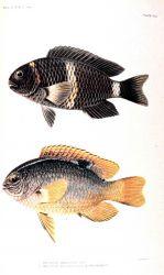 1 Abudefduf amabilis (De Vis) 2 Abudefduf antjerius (Kuhl & Van Hasselt) In: