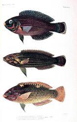 1 Platyglossus marginatus (Ruppell) 2 Platyglossus flos-corallis Jordan & Seale 3 Halichoeres centiquadrus (Lacepede) Photo