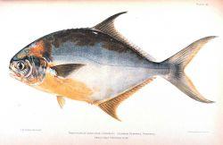 Trachinotus carolinus (Linnaeus) Photo